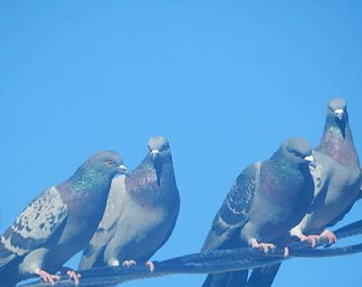Photograph - 4 Pigeons On The Line by Mozelle Beigel Martin