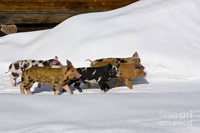Litter Mates Photograph - Piglets In The Snow by Jean-Louis Klein & Marie-Luce Hubert