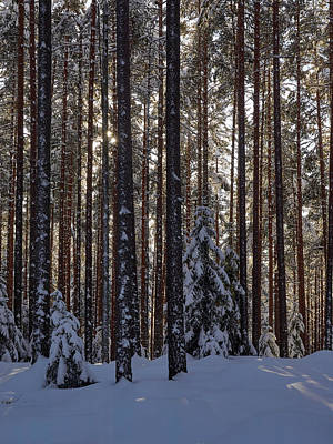 Photograph - Pines by Jouko Lehto
