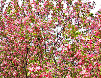 Photograph - Pink Cherry Tree by Irina Afonskaya