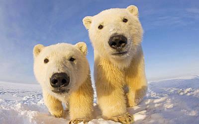 Polar Bear Digital Art - Polar Bear by Alice Kent