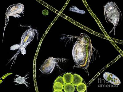 Daphnia Photograph - Pond Life by Laguna Design