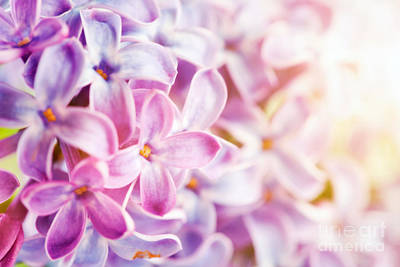 Detail Photograph - Purple Spring Lilac Flowers Blooming Close-up by Michal Bednarek