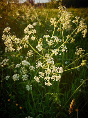 Keck Photograph - Queen Annes Lace by Jouko Lehto