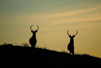 Red Deer Stags  Art Print