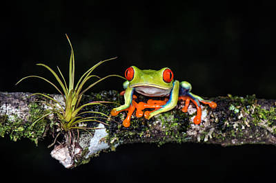 Red-eyed Tree Frog Agalychnis Art Print by Panoramic Images