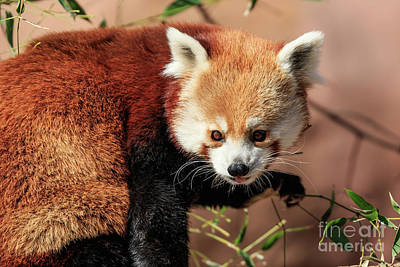 Photograph - Red Panda by Richard Smith