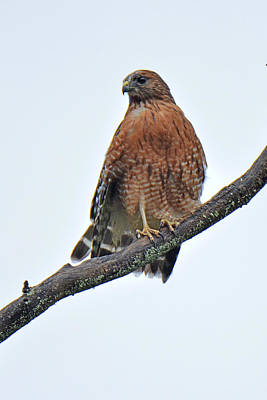 Photograph - Red Shouldered Hawk by Alan Lenk
