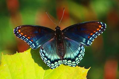 Photograph - Red-spotted Purple by Kathryn Meyer