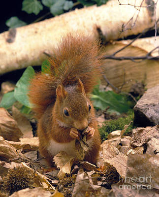 Gnawing Photograph - Red Squirrel Sciurus Vulgaris by Gerard Lacz