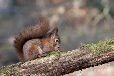 Photograph - Red Squirrel - Scottish Highlands #7 by Karen Van Der Zijden