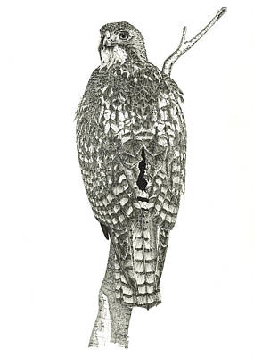 Red Tail Hawks Drawing - Red-tailed Hawk by Marcus England