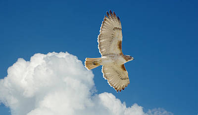Red-tailed Hawk Soaring High Art Print by Roy Williams