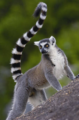 Ring Tailed Lemurs Photograph - Ring-tailed Lemur Lemur Catta Portrait by Pete Oxford