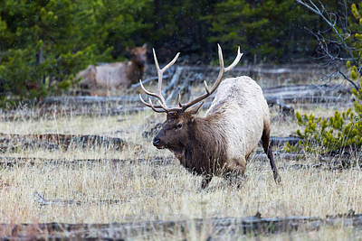 Photograph - Rocky Mountain Elk by Michael Chatt