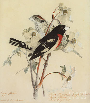 Rose Branch Painting - Rose Breasted Grosbeak by John James Audubon