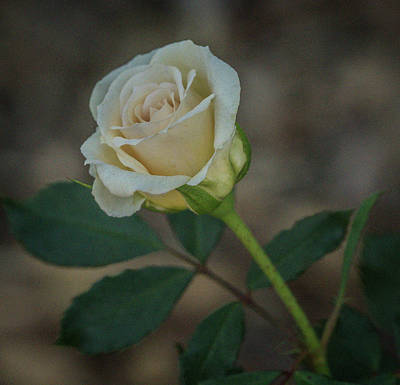 Photograph - Rose by Jane Luxton