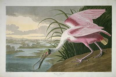Audubon Drawing - Roseate Spoonbill by Dreyer Wildlife Print Collections