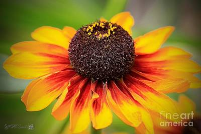 Photograph - Rudbeckia Named Toto Rustic by J McCombie