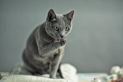 Licking Photograph - Russian Blue by Nailia Schwarz