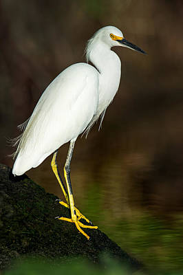 Tortuguero Photograph - Snowy Egret Egretta Thula, Tortuguero by Panoramic Images