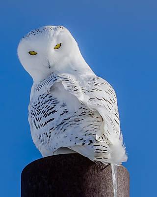 Snowy Owl Art Print by Dan Traun