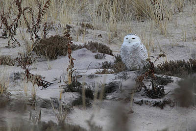 Photograph - Snowy Owl Westhampton New York by Bob Savage
