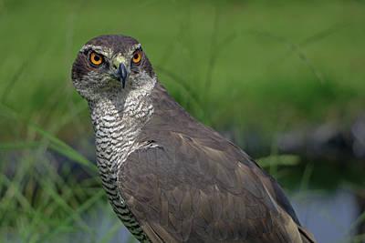 Photograph - Sparrowhawk  by Tony Murtagh