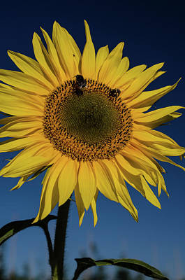 Sunflower Fields Art Print