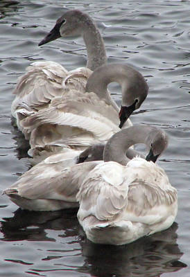 4 Swans Print by Laurie With