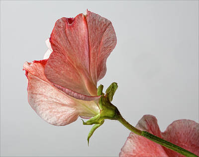 Sweet Pea Art Print by Robert Ullmann