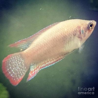 Photograph - Taiwan Goldfish  by Sobajan Tellfortunes