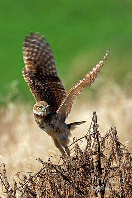 Burrowing Owl Photograph - Take Flight by Mike Dawson