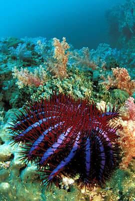 Photograph - Thailand, Marine Life by Dave Fleetham - Printscapes