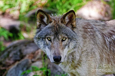Timber Wolf Art Print by Michael Cummings