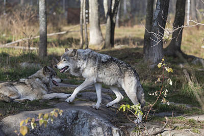 Photograph - Timber Wolves by Josef Pittner
