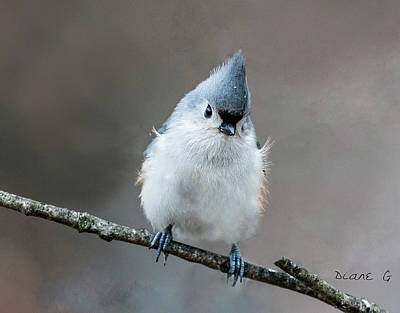 Photograph - Tufted Titmouse by Diane Giurco