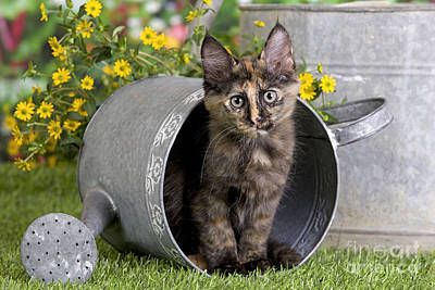 Turkish Angora Kitten Art Print by Jean-Michel Labat