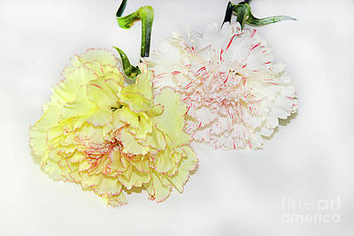 Photograph - Two Carnations by Elvira Ladocki