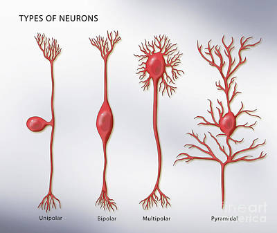 Bipolar Photograph - 4 Types Of Neurons, Illustration by Monica Schroeder