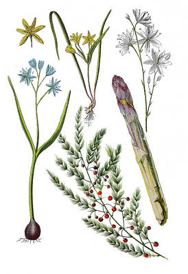 Asparagus Drawing - Various Medicinal Plants by Heinz Tschanz-Hofmann
