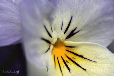Photograph - Viola Named Sorbet Blueberry Cream by J McCombie