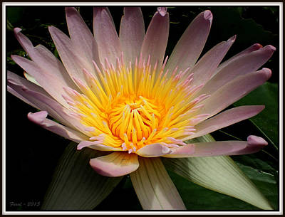 Photograph - Water Lily by Farol Tomson
