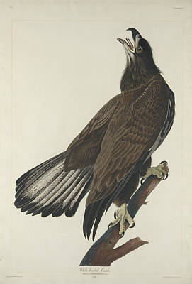 Painting - White-headed Eagle by John James Audubon