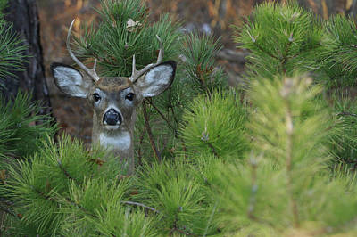 Photograph - White Tailed Deer Calverton New York by Bob Savage