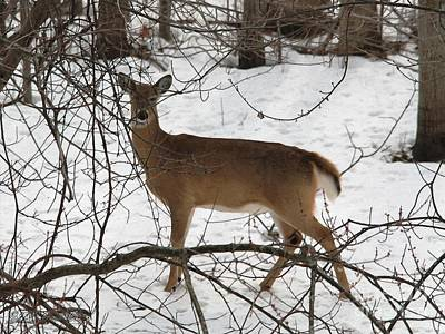 Painting - White-tailed Deer by J McCombie