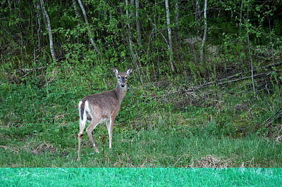 Photograph - White-tailed Deer by Jouko Lehto