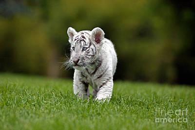White Tiger Panthera Tigris Art Print by Gerard Lacz