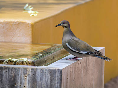 Photograph - White-winged Dove by Tam Ryan