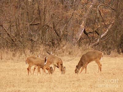 Missouri Whitetail Photograph - 4 Whitetail Deer by Bob Schmidt